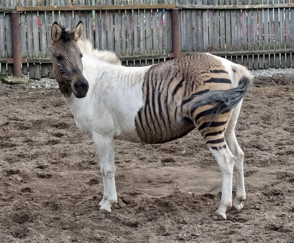zebra horse breed